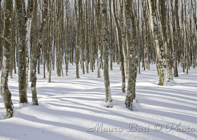 Faggi con la neve in Campigna