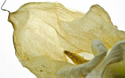 Fiore di calla appassito