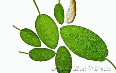 Salvia foglie