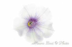 Fiore di surfinia bianca variegata in viola in high key