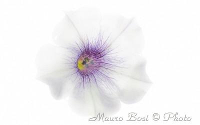 Surfinia bianca e viola in high key