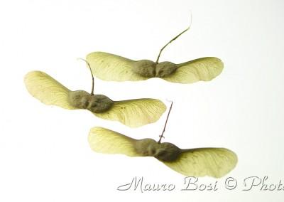 semi di acero a farfalla