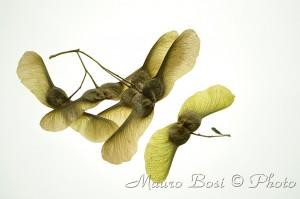 semi di acero