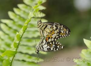 Farfalle speculari