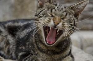 comunicare gatto sbadiglia