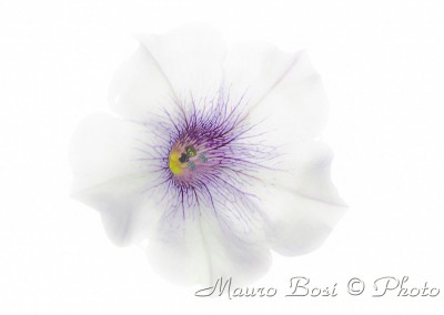 Surfinia bianca e viola in high key