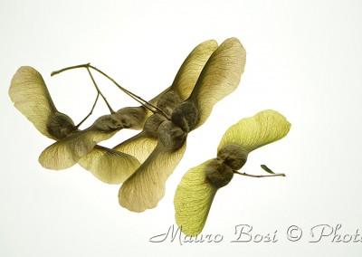 semi a farfalla